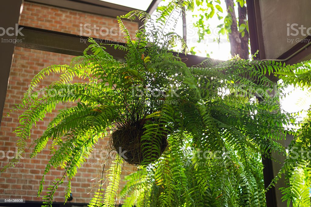 giant boston fern hanging pot stock photo