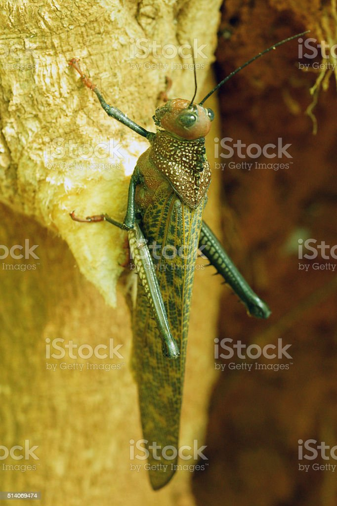 Giant Brown Cricket stock photo