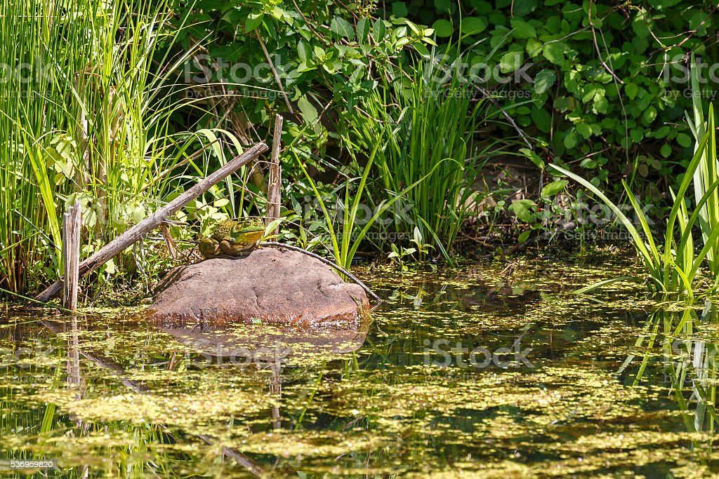 Giant Bullfrog Sitting on a Rock In Swamp stock photo
