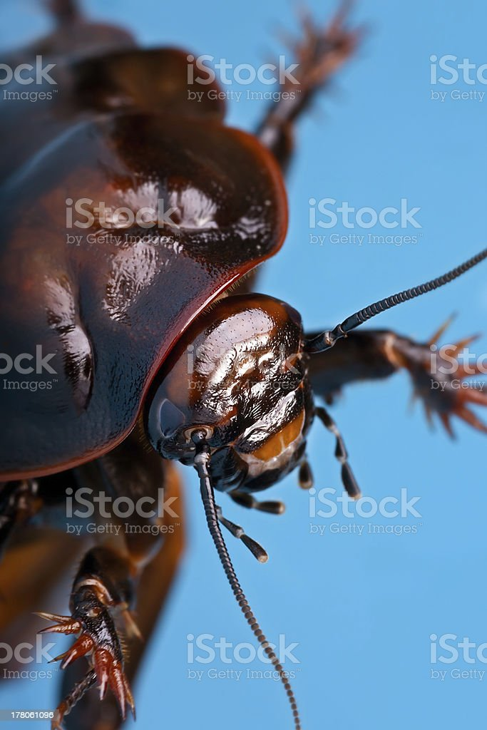 Giant burrowing cockroach stock photo