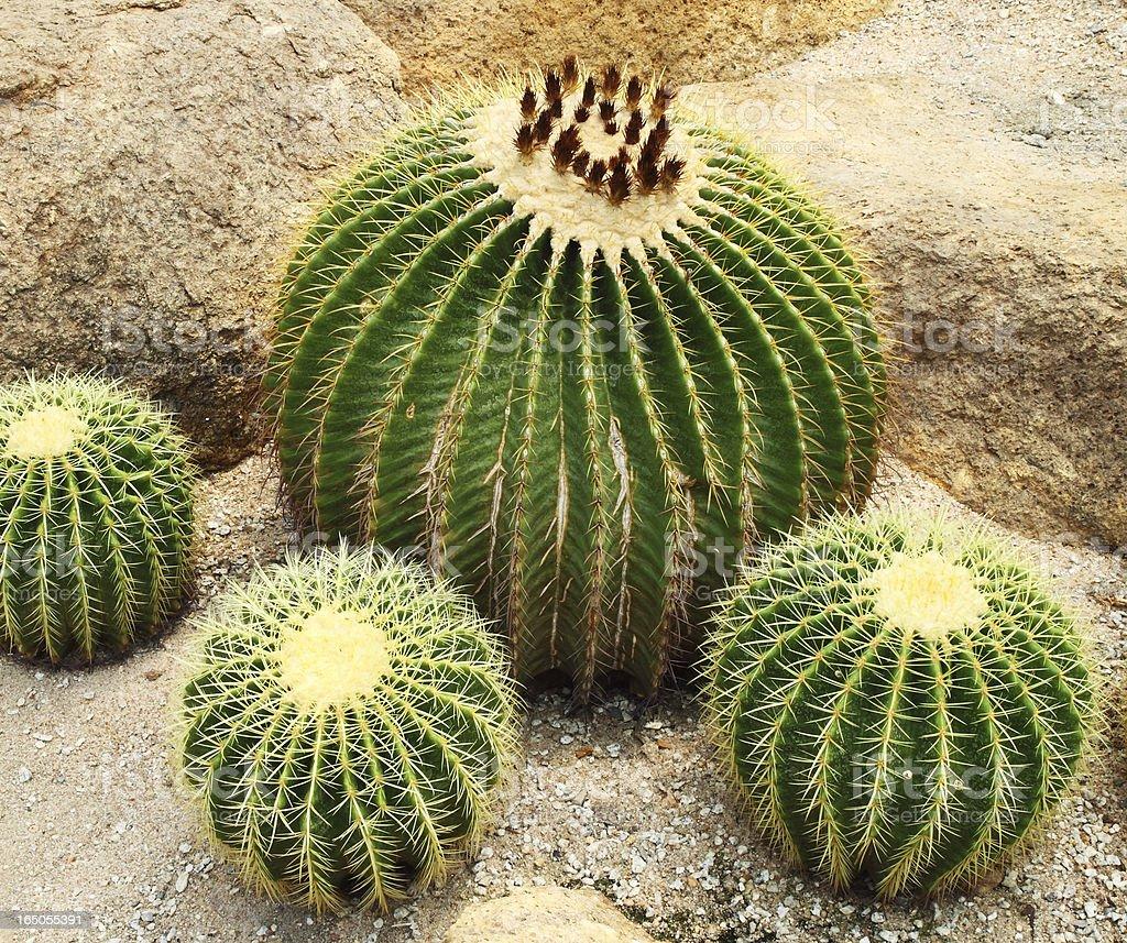 Giant cactus in Nong Nooch Tropical Botanical Garden, Thailand royalty-free stock photo
