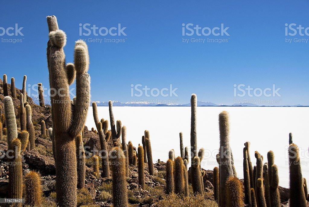 Giant cactus in salt desert Uyuni, Bolivia. stock photo