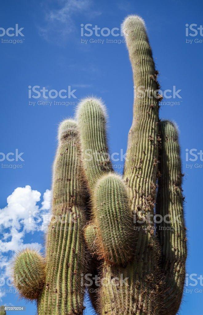 giant cactus in the desert, Argentina stock photo