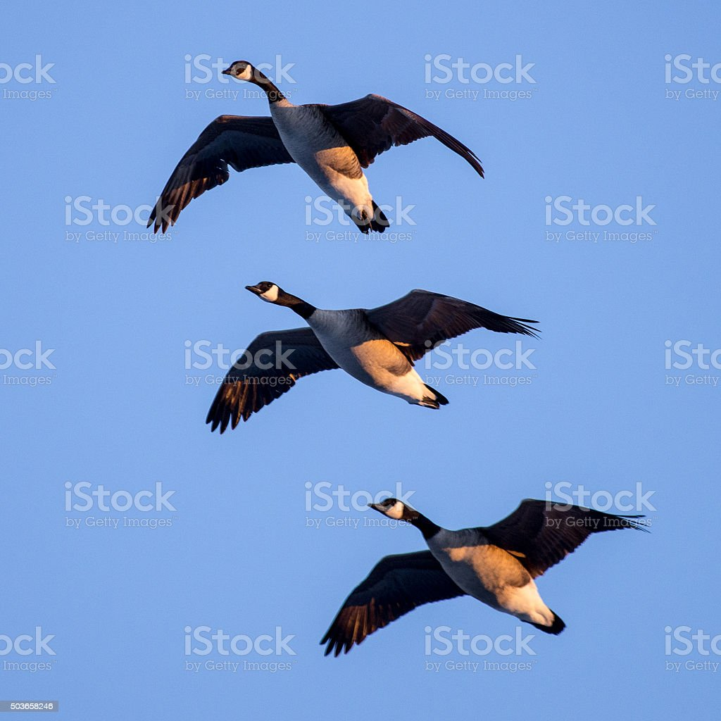 Giant Canada Geese in Formation stock photo