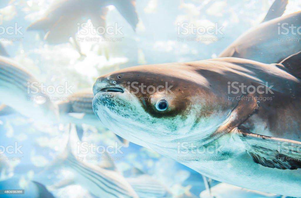 giant catfish in Thailand stock photo