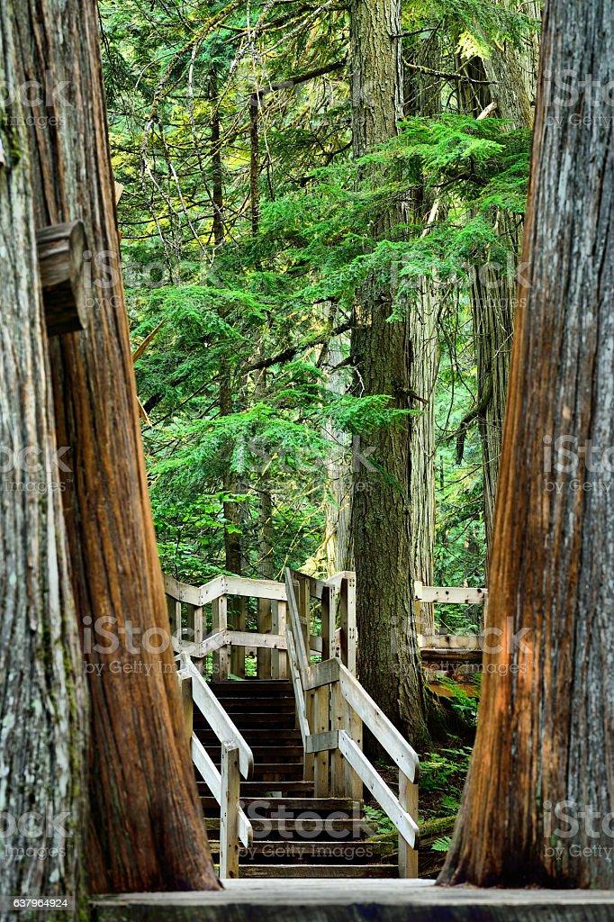 Giant Cedars Boardwalk Trail stock photo