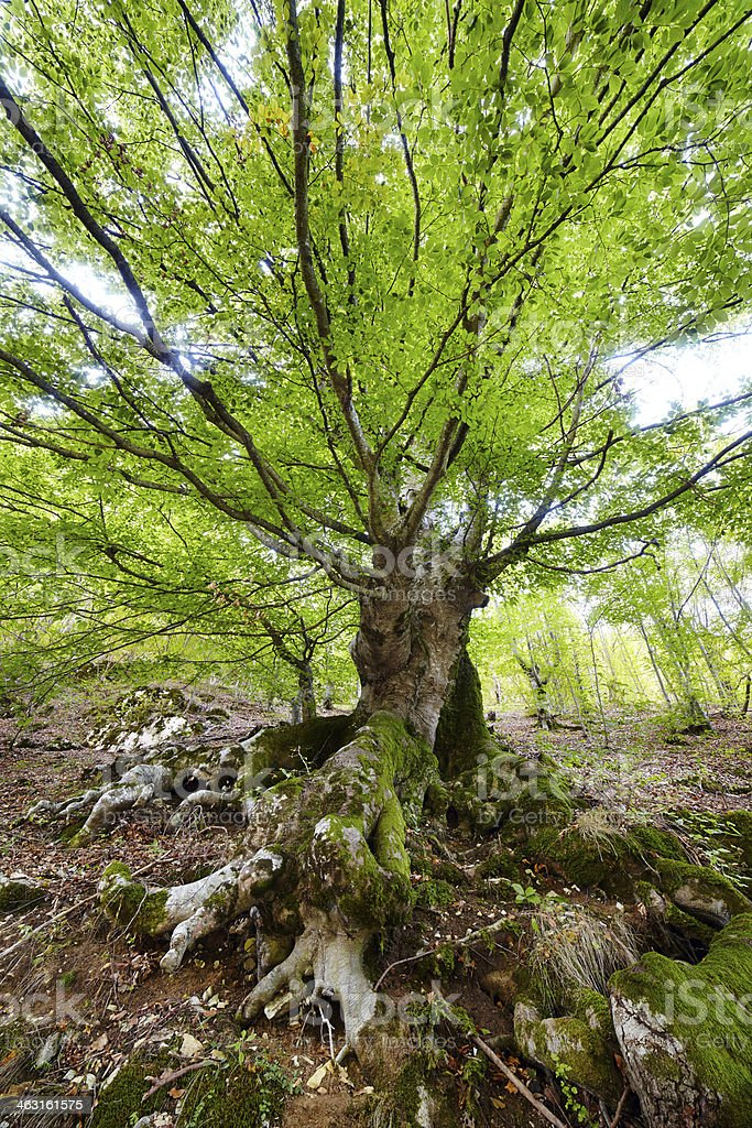 Giant centennial beech stock photo