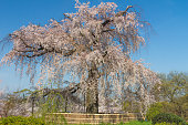 Giant Cherry Blossom Tree in Kyoto Japan