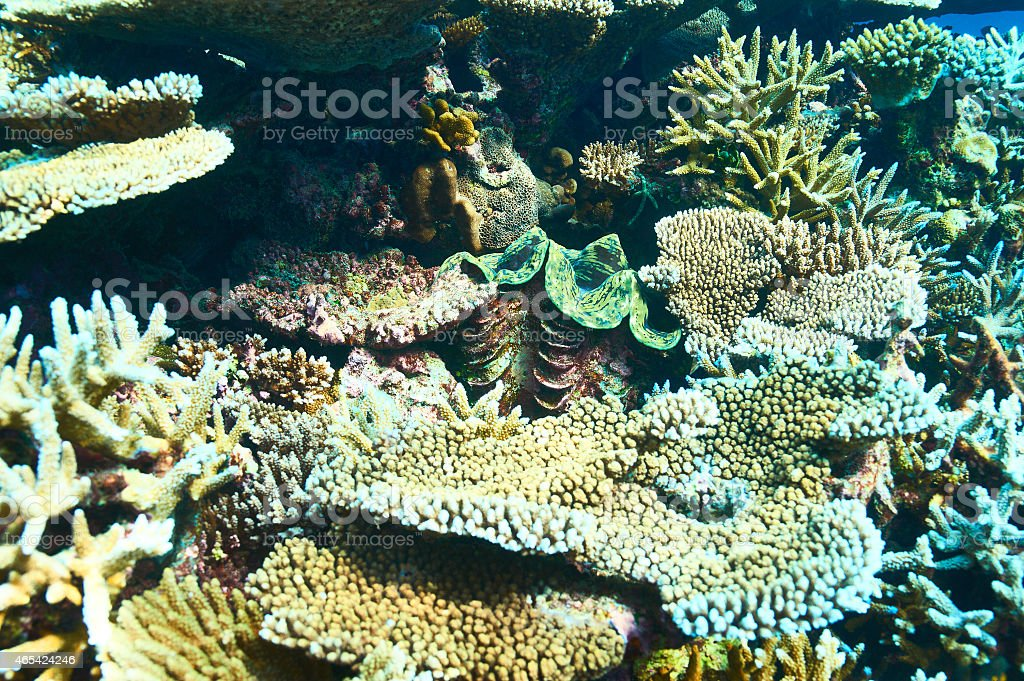Giant clam at the tropical coral reef stock photo