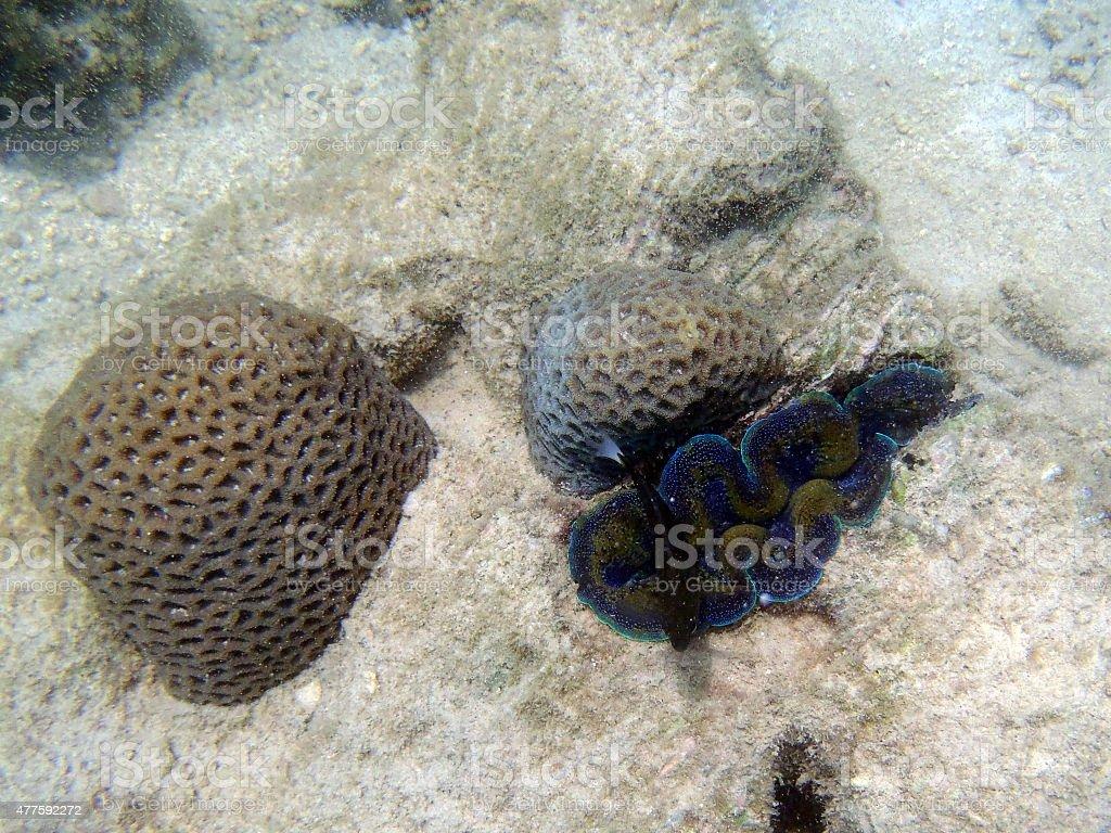 Giant clam stock photo