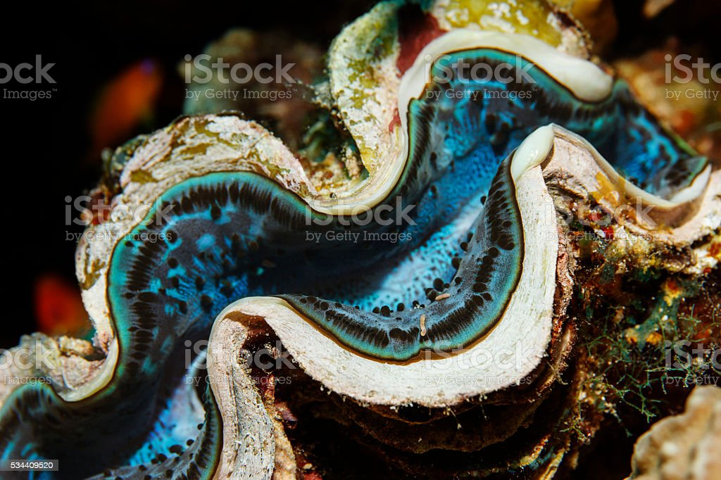 Giant Clam  Sea life  coral reef stock photo