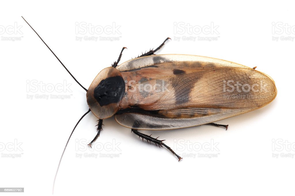 giant cockroach isolated on white background stock photo