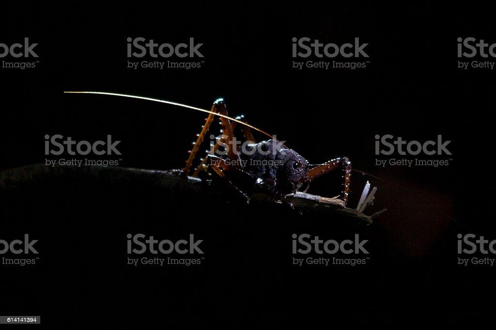 Giant Cricket from the Amazonas. stock photo