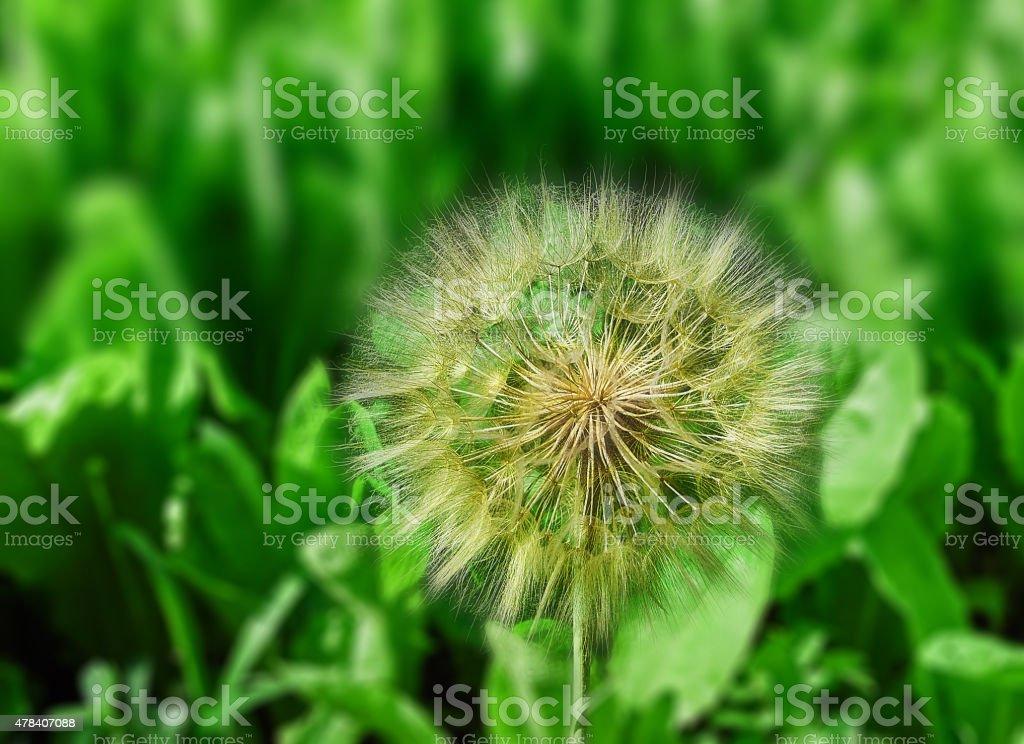 giant dandelion royalty-free stock photo