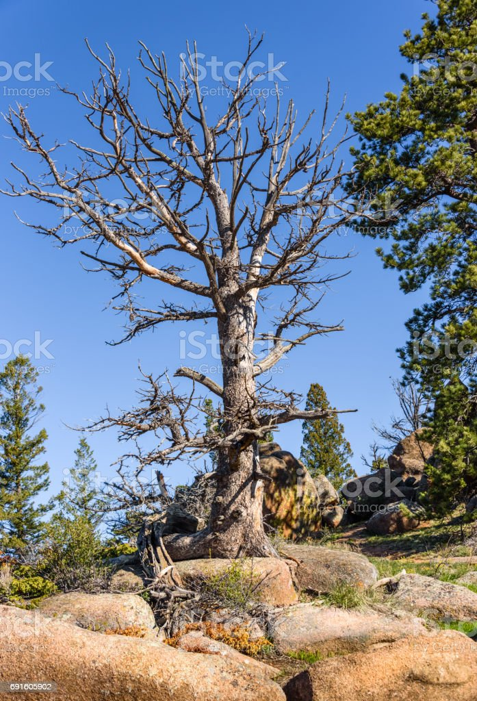 Giant dead tree on rocks, high altitude in the mountain woods, blue sky and green forest background. Destroyed by insect parasites, bark beetles. Vedauwoo National Park, Wyoming, USA stock photo
