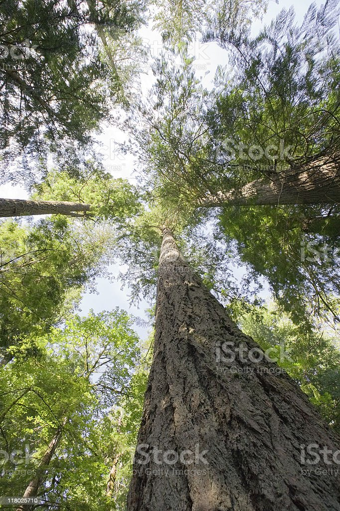 Giant Douglas Firs in temperate rainforest stock photo