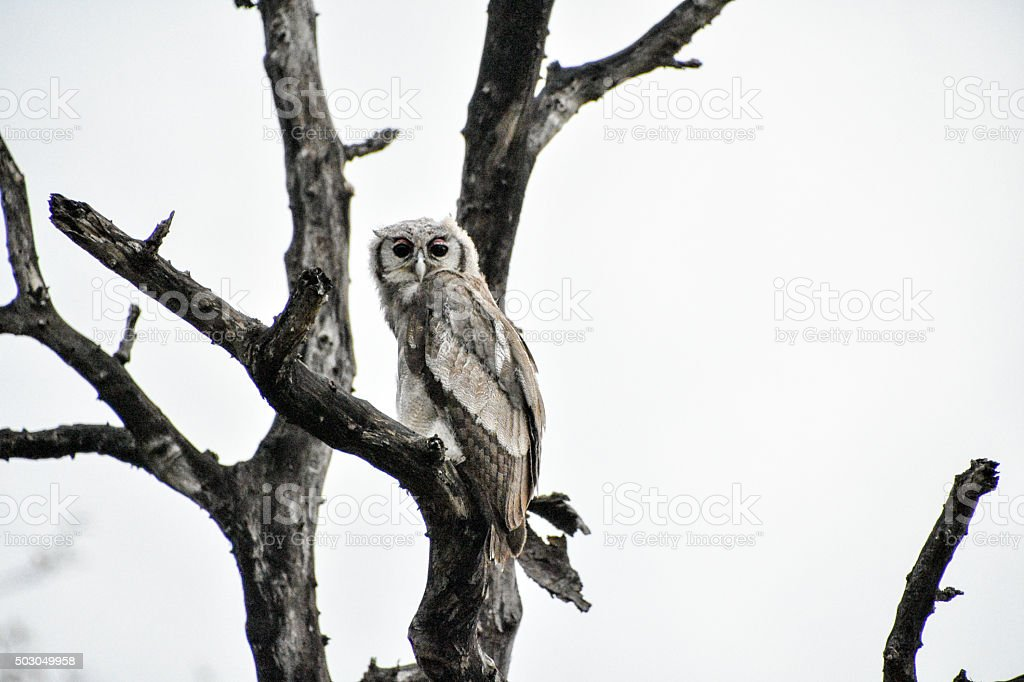 Giant Eagle Owl in a Tree stock photo