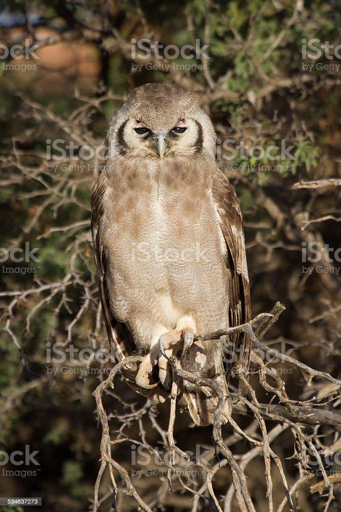 Giant eagle owl sitting in a Kalahari tree sleeping stock photo