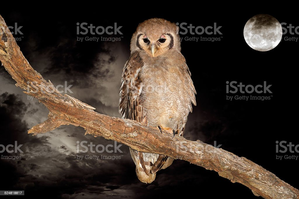 Giant eagle-owl and moon stock photo