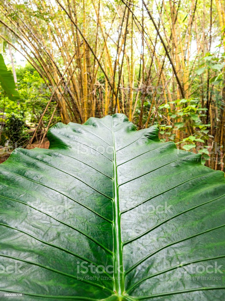 Giant Elepaht's Ear (Colocasia) Leaf in jungle stock photo