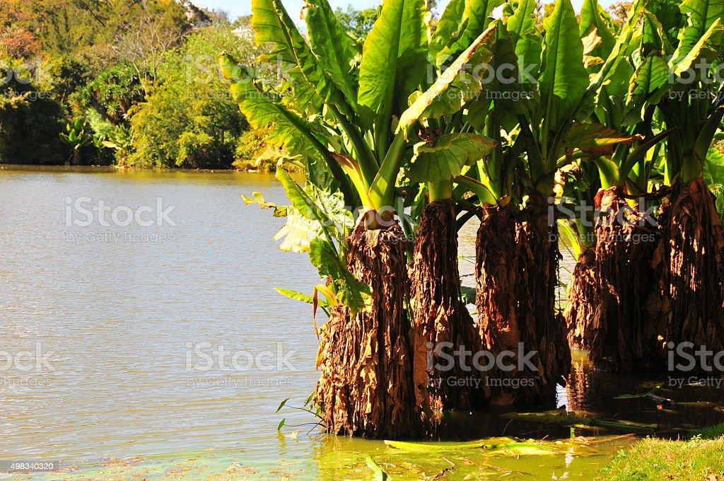 Giant elephant ears plants in water - Alocasia macrorrhiza stock photo