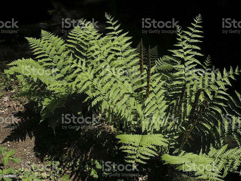 Giant ferns in a nature park royalty-free stock photo