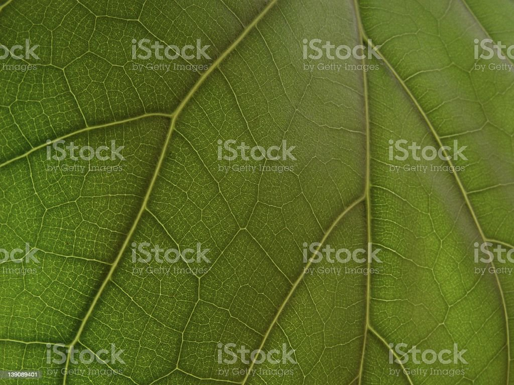 A Giant Ficus Leaf Macro stock photo