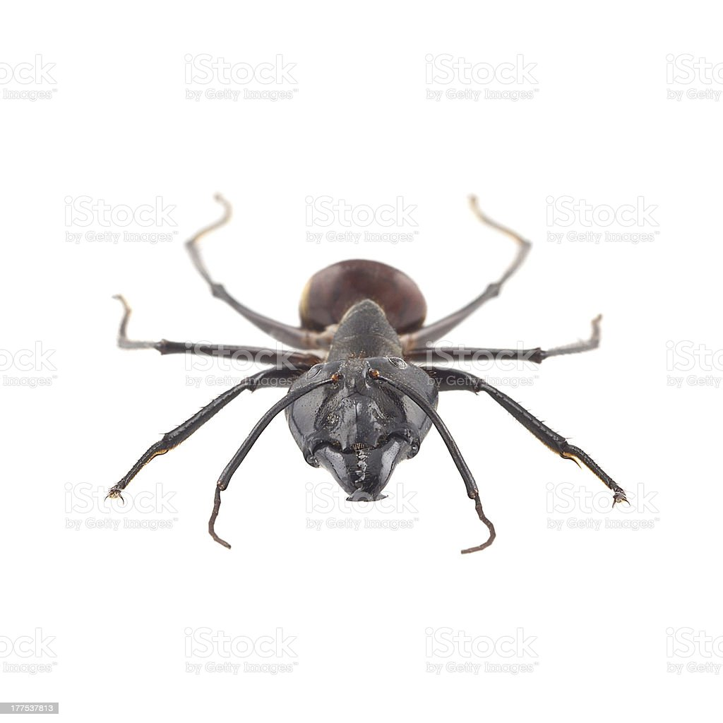 Giant forest ant, Camponotus gigas stock photo