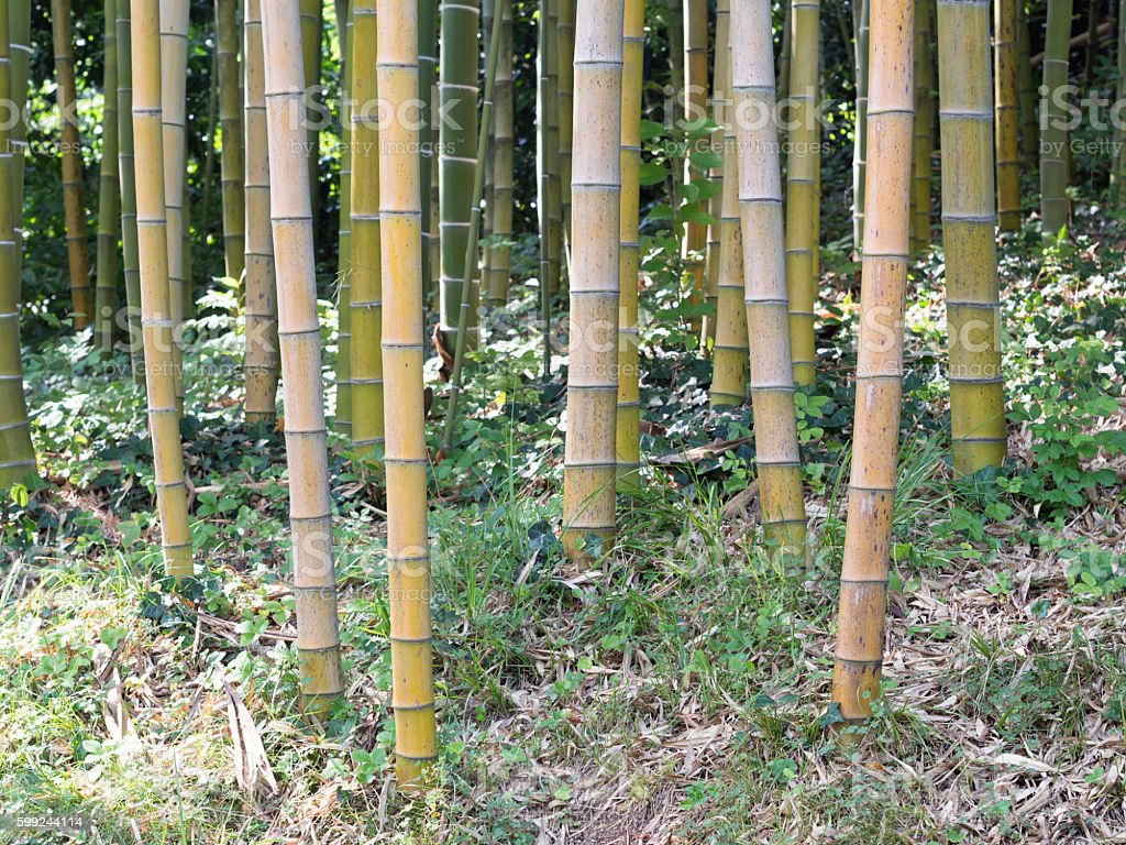 giant forest bamboo stock photo