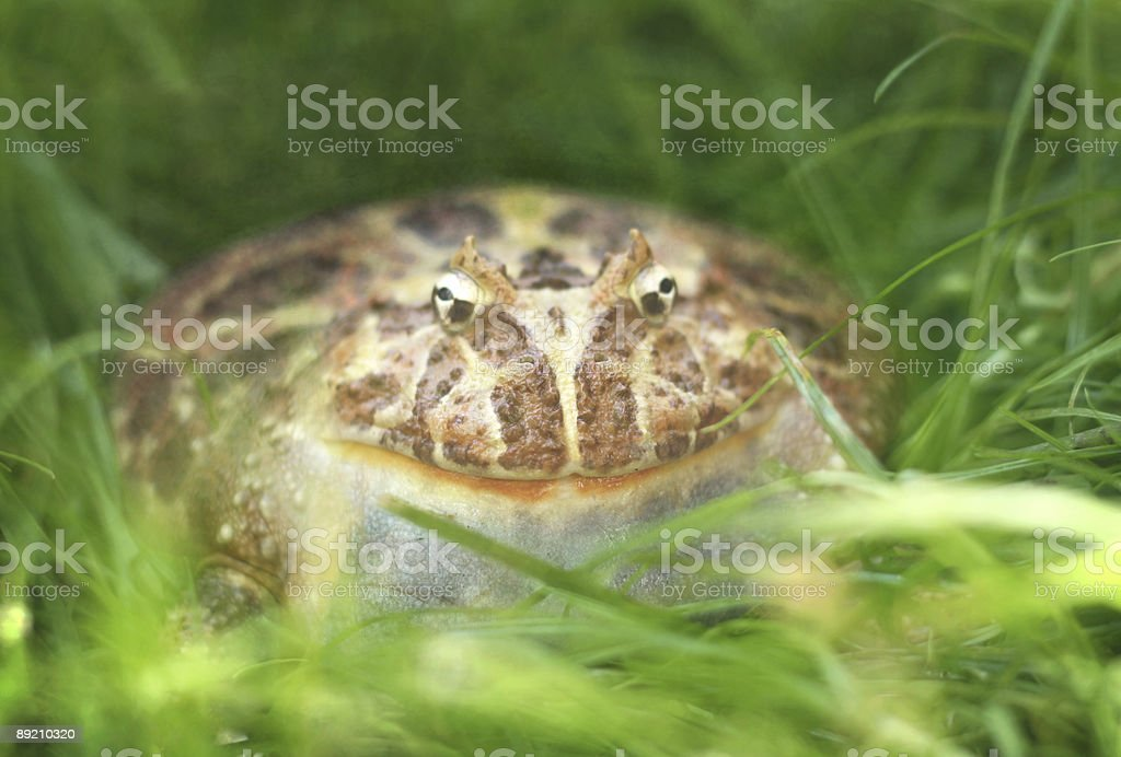 giant frog in grass stock photo