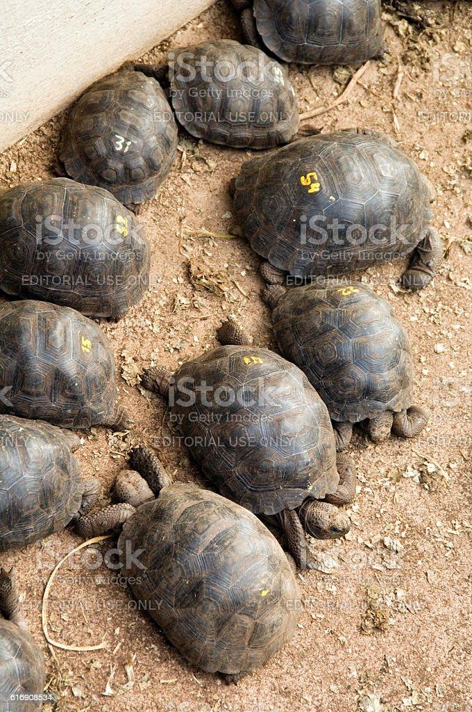 Giant Galapagos tortoise babies in breeding programme, Darwin Center stock photo