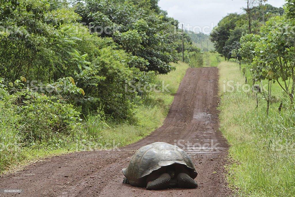 Giant Galapagos tortoise in Santa Cruz Island stock photo