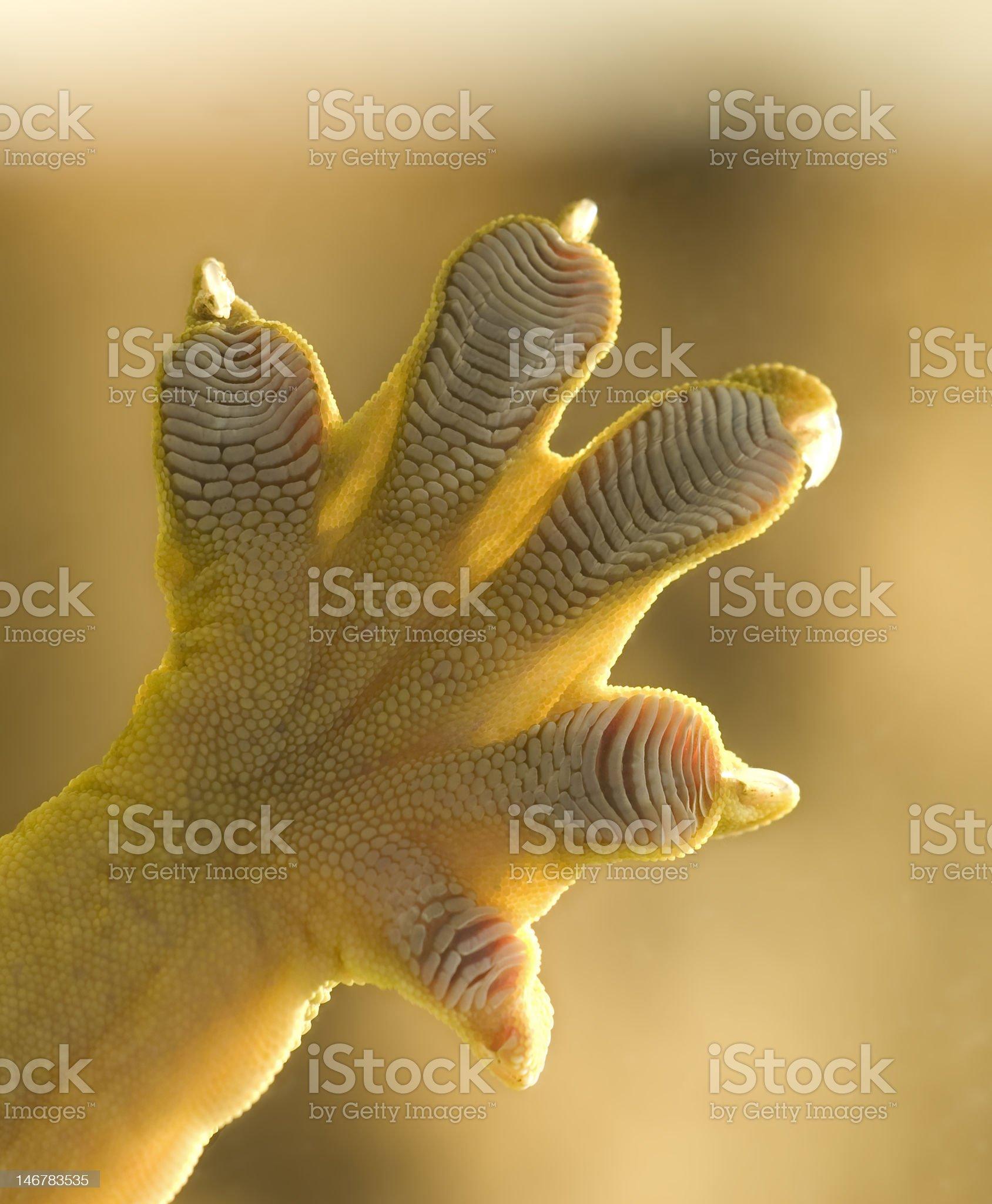 Giant Gecko royalty-free stock photo