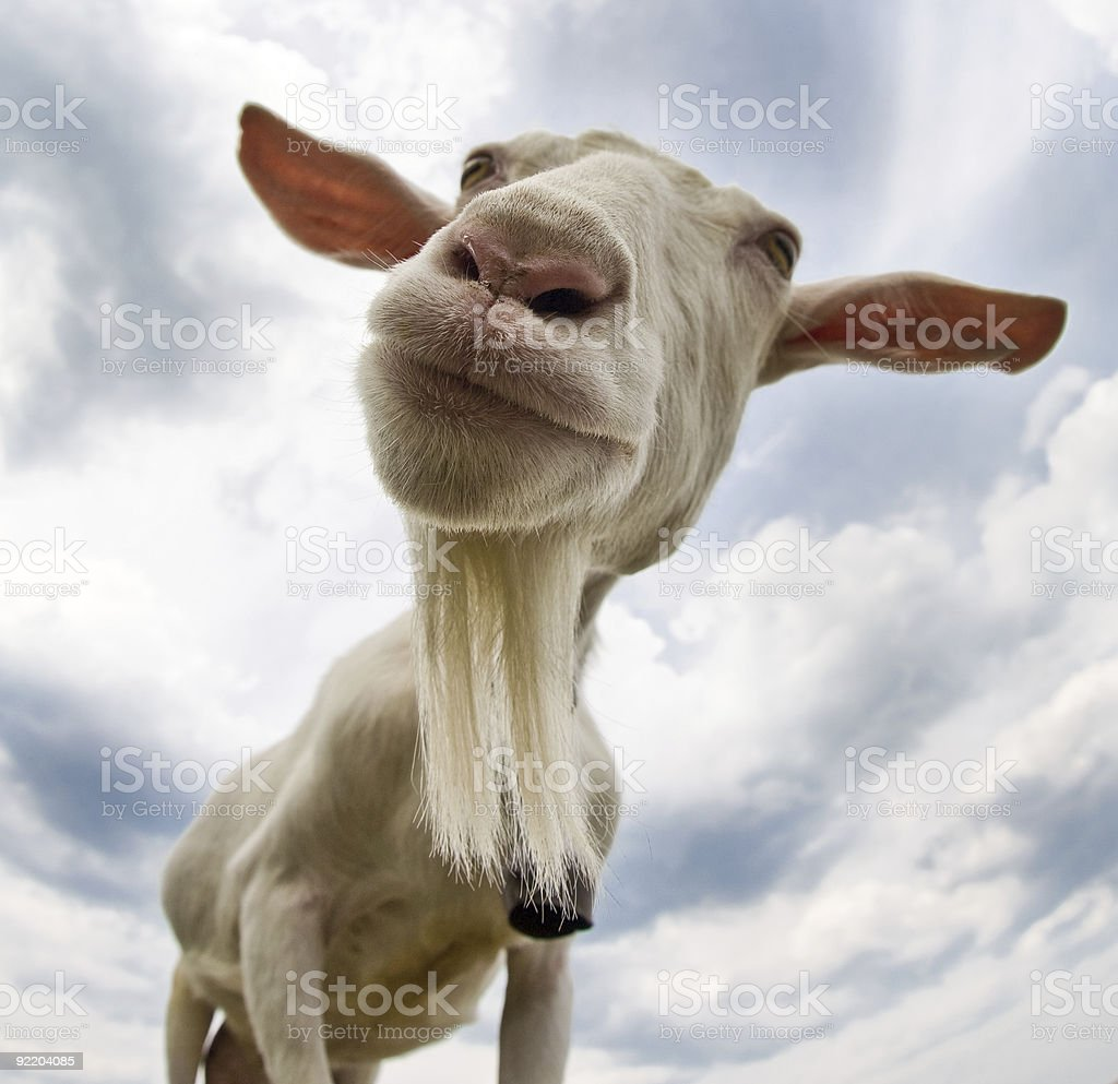 Giant Goat has spotted us! stock photo
