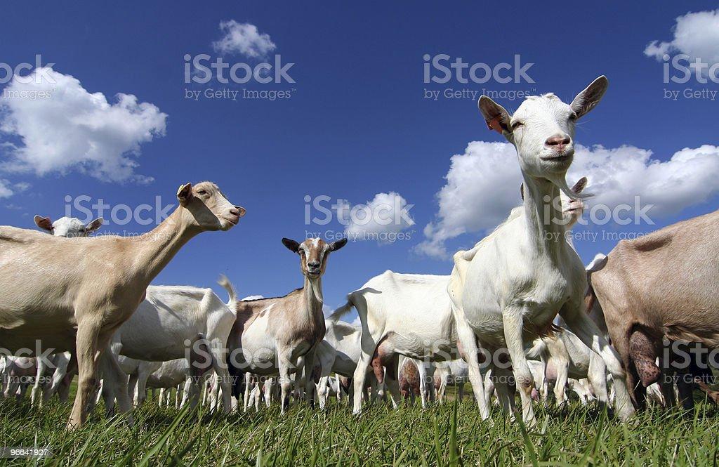 giant goats stock photo