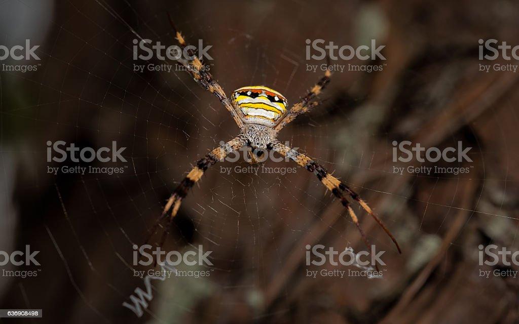 Giant Golden Orb Weaver Spider in northern Thailand stock photo