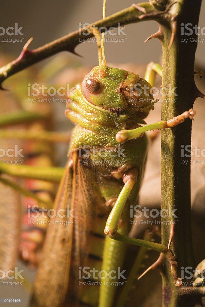 Giant grasshopper - High Resolution royalty-free stock photo