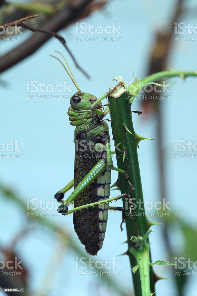 Giant grasshopper (Tropidacris collaris). stock photo