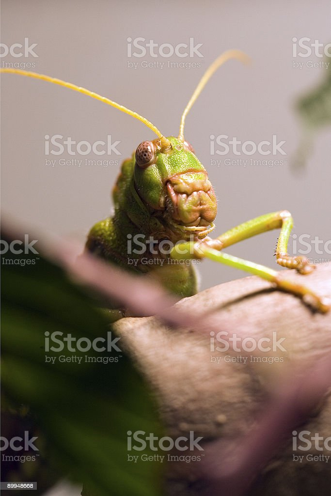 Giant Grasshopper royalty-free stock photo