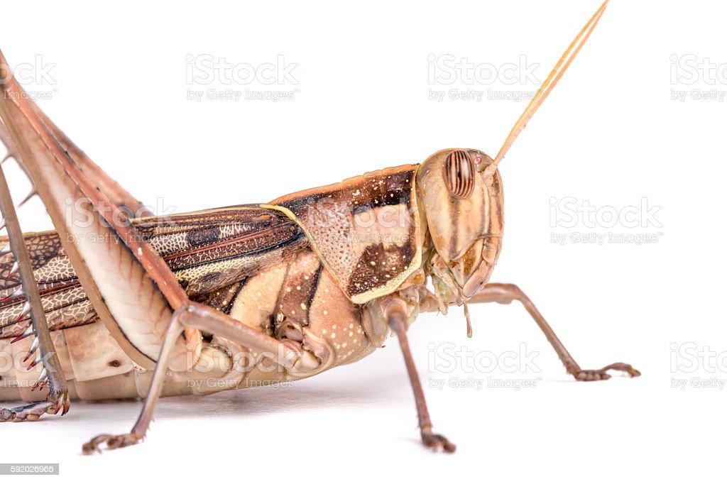 Giant Grasshopper, Tropidacris collaris stock photo