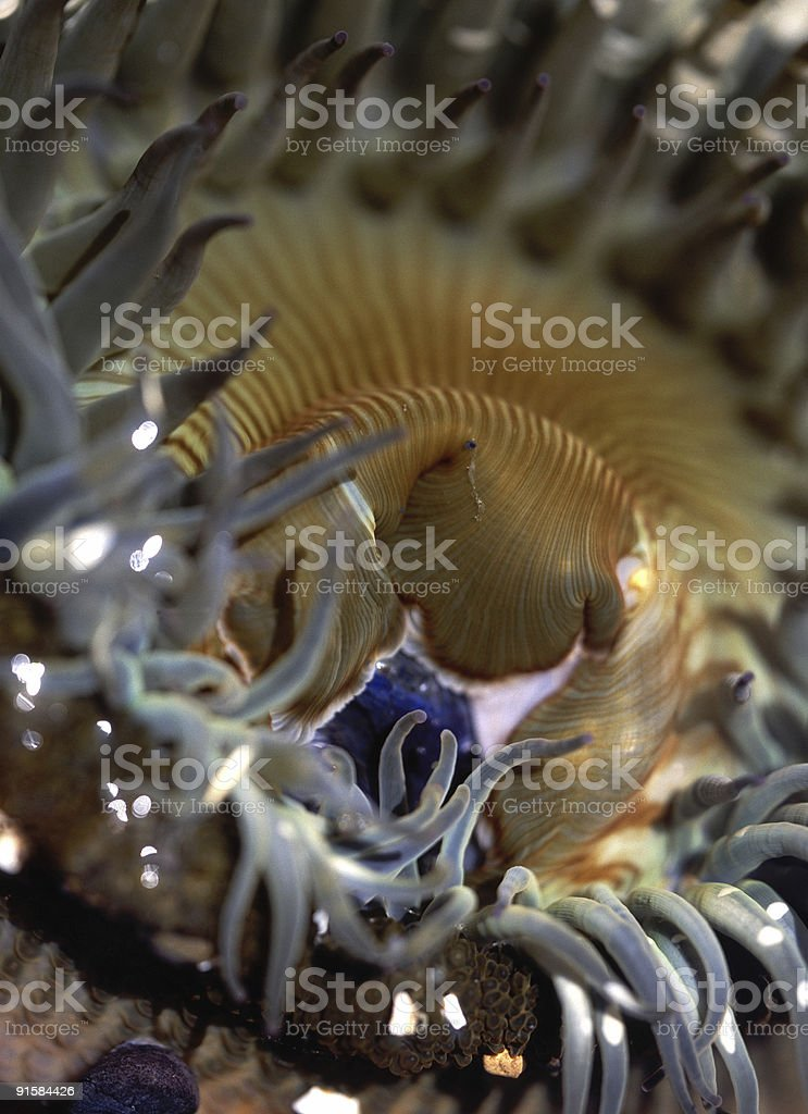 Giant Green Anemone detail stock photo