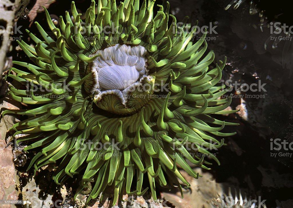 Giant Green Anemone royalty-free stock photo