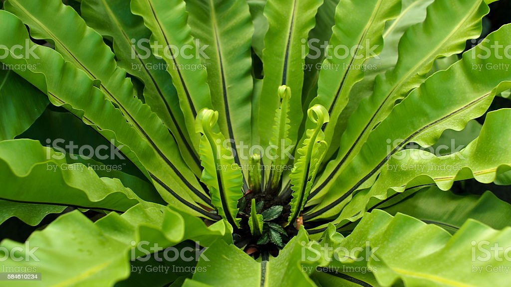 Giant Green Fern stock photo