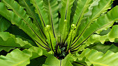 Giant Green Fern