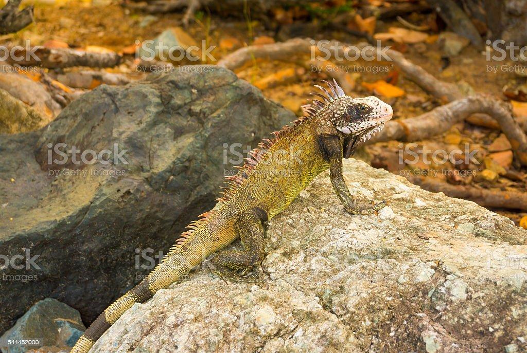 Giant green iguana on stone close-up stock photo