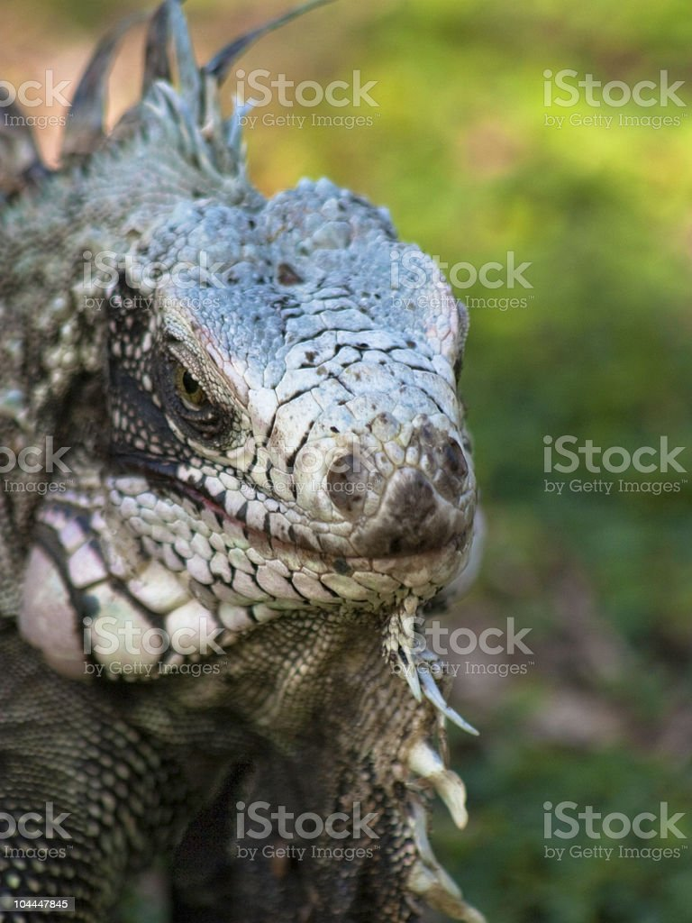 Giant green iguana stock photo