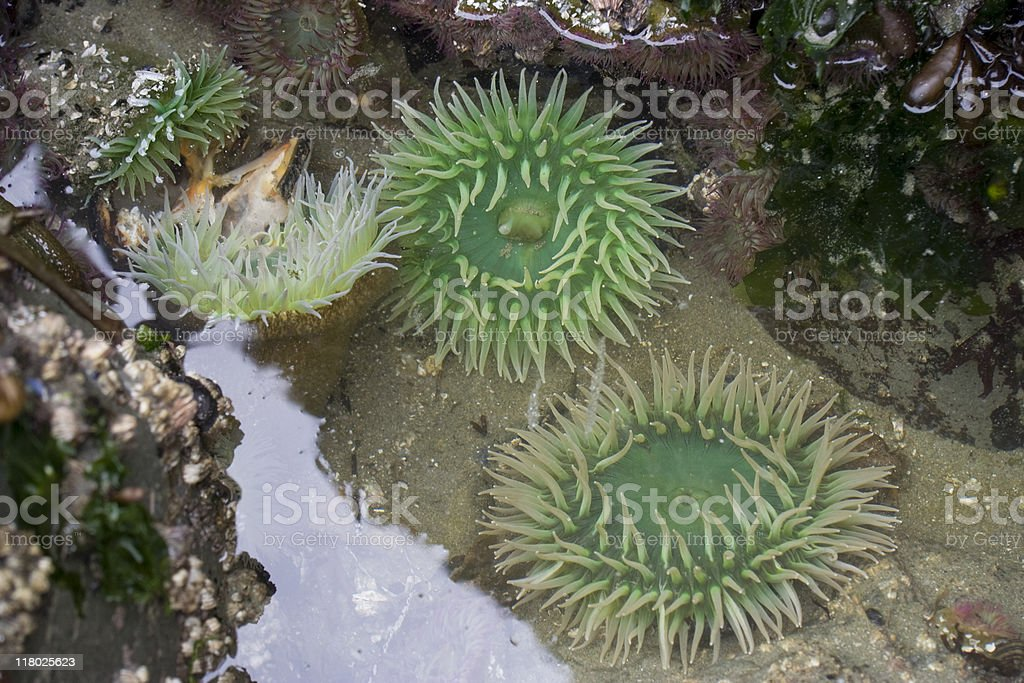 Giant Green Sea Anemones on rocks  at low tide stock photo