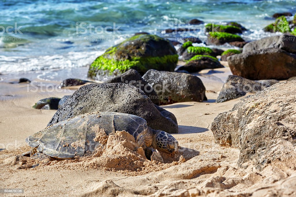 giant green sea turtle at Laniakea beach, Hawaii stock photo
