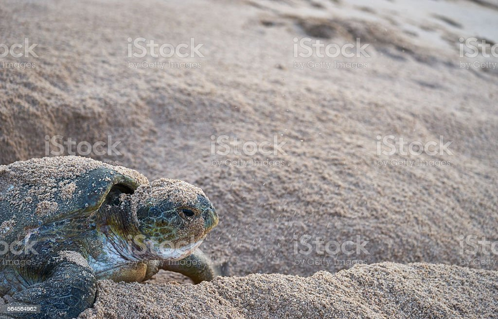 Giant green sea turtle nesting stock photo