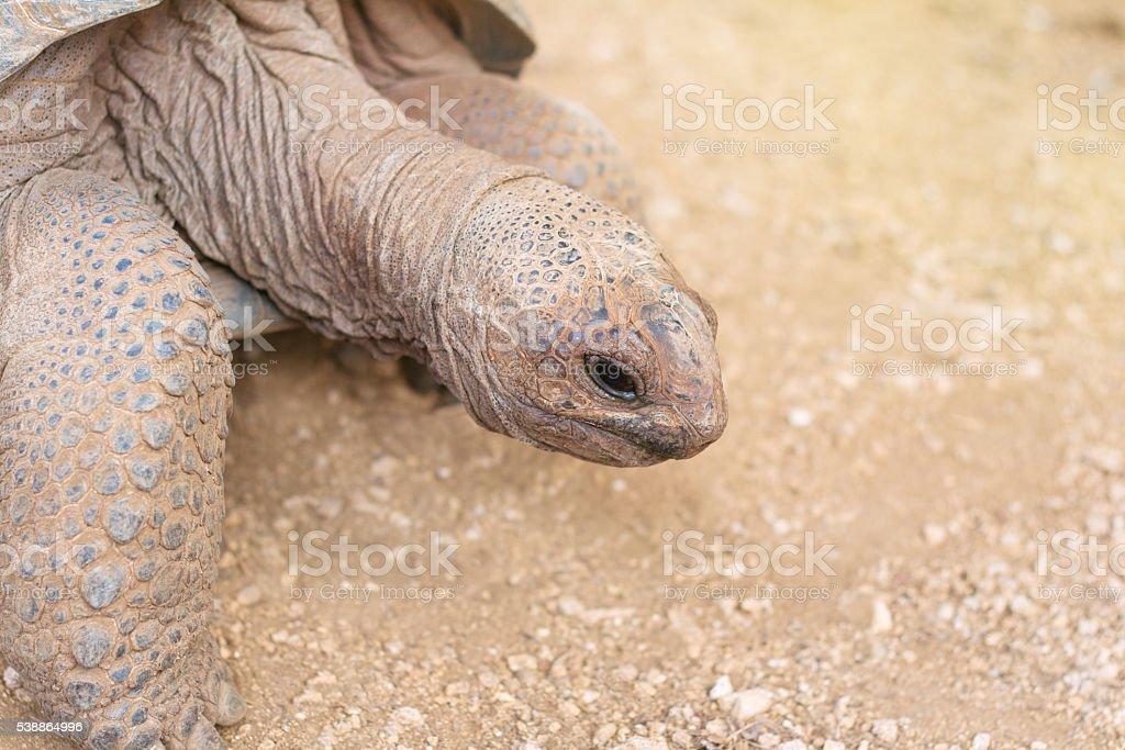 Giant grey tortoise close-up stock photo